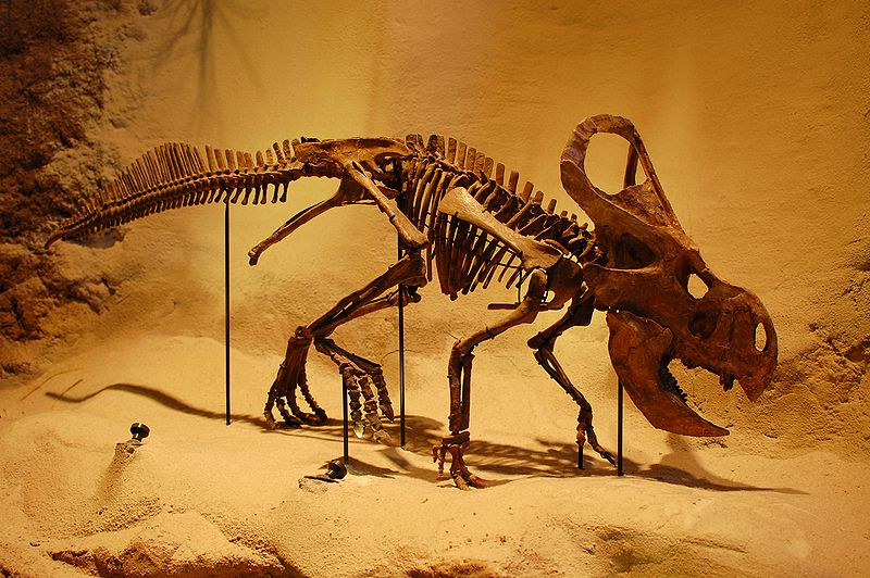 Protoceratops Carnegie Museum